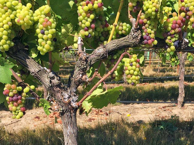 Alt Wine Oregon